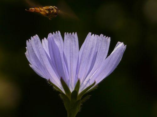 paprastoji trūkažolė,cikorija,gėlė,Hoverfly,žiedas,žydėti,šviesiai mėlynas,violetinė,paprastoji cikorija,cichorium intybus,kompozitai,asteraceae,kelias,žydintis augalas,botanika,flora,syrphidae,nuolatinis skristi,schwirrfliege,skristi,diptera,brachycera,episyrphus balteatus,žiemos florea