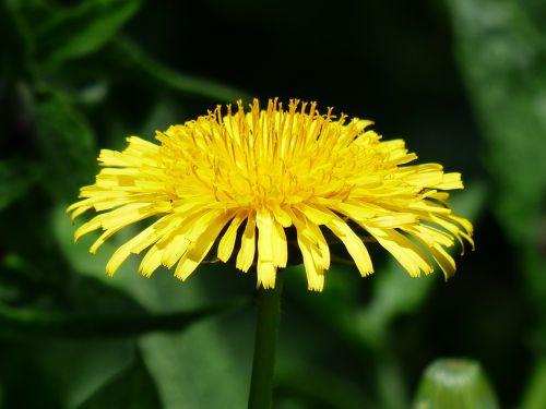 paprastoji kiaulpienė,kiaulpienė,gėlė,pinigai,taraxacum,ruderalia,kompozitai,asteraceae,gėlės,žiedas,žydėti,geltona,aštraus gėlė,augalas,vasara,bičių ganyklų augalas,bitės,natūralus augalas,vaistinis augalas