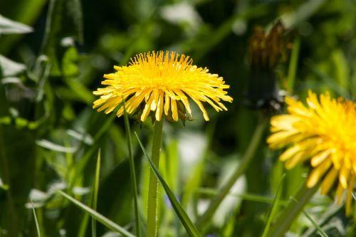 paprastoji kiaulpienė,kiaulpienė,gėlė,taraxacum,ruderalia,kompozitai,asteraceae,gėlės,žiedas,žydėti,geltona,aštraus gėlė,augalas,pavasaris,vasara,bičių ganyklų augalas,bitės,natūralus augalas,vaistinis augalas