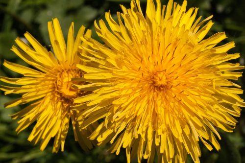 paprastoji kiaulpienė,kiaulpienė,gėlė,taraxacum,ruderalia,kompozitai,asteraceae,gėlės,geltona,aštraus gėlė,augalas,pavasaris,vasara,bičių ganyklų augalas,bitės,natūralus augalas,vaistinis augalas,antspaudas,žiedadulkės,makro