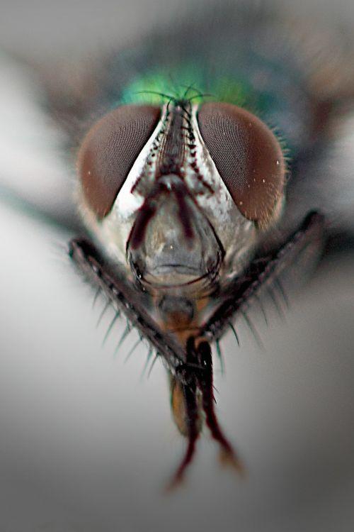 paprastas namas,jungtinės akys,makro,Uždaryti,skristi,gamta,vabzdys,housefly,vabzdžių makro