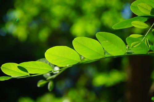 bendras klevas,lapai,žalias,robinia,lapų žarnos,filigranas,lapų struktūros,medis,švyti per,žaliųjų atspalvių,šviesa,šviesiai žalia,tamsiai žalia,robinia pseudoacacia,klaidinga akacija,sidabrinis lietus,dekoratyvinis augalas,ankstyvos vasaros ganyklos,bitės,atgal šviesa,filialas,lapų žalia,chlorofilo,lapai,bendras štendornas,vasaros žalia lapuočių medis,vasara žalia,lapuočių medis,permatomas,šviesiai žalia,šviesus