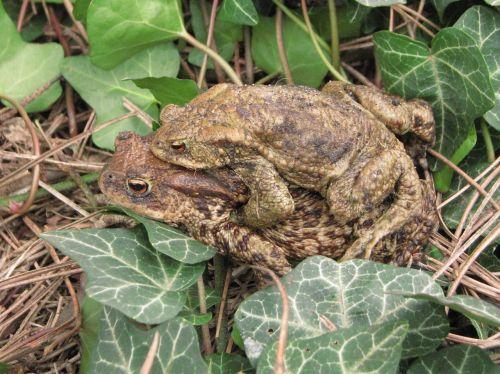 bendroji varlė,europos varlė,veisimas,pora,amplexus,Bufo,laukinė gamta,fauna,amfibija