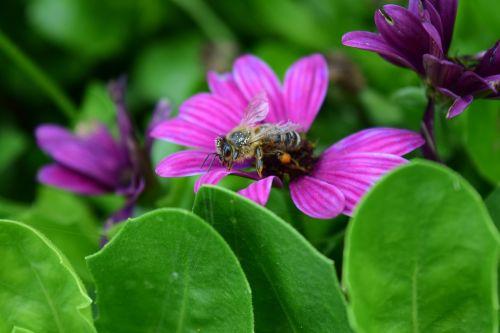 kompozitai,bičių,senoji bičių,žiedadulkės,surinkti,maistas,alkanas,pavargęs