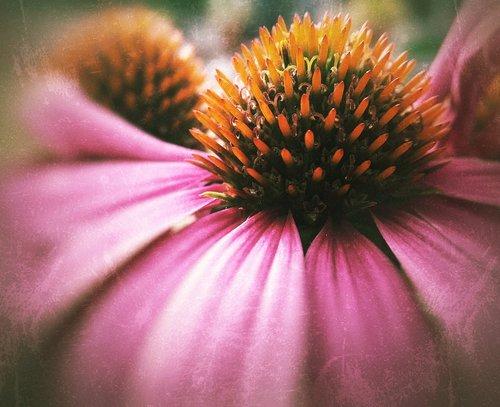 rudenį ir žiemos sodas, Echinacea, žydi, pobūdį, žiedas, vasara, gėlė, Sodas, augalų, žiedlapiai, rožinis, Blur, lauko gylis, lauko