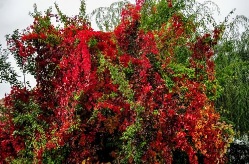 convolvulus,krūmas,spalvinga,medis,gamta,žalias,augalas,parkas,lapai,flora,raudona,botanika,spalva