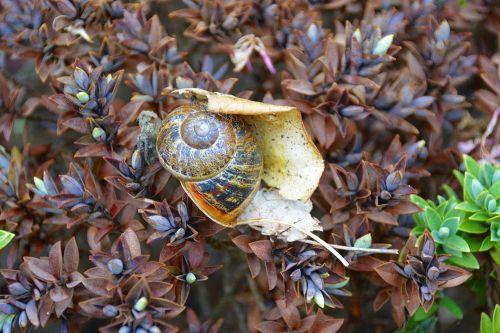 sraigė, gastropodas, sodas, kaimas, lukštas, sraigė & nbsp, korpusas, gamta, šukutės lukštas