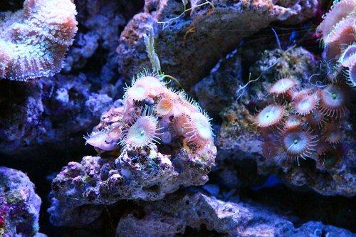 koralų, polipas, akvariumas, Jūrų akvariumas, rifai, rifas akvariumas, Povandeninis pasaulis, pobūdį, po vandeniu, jūra, Jūros dugnas, apačia