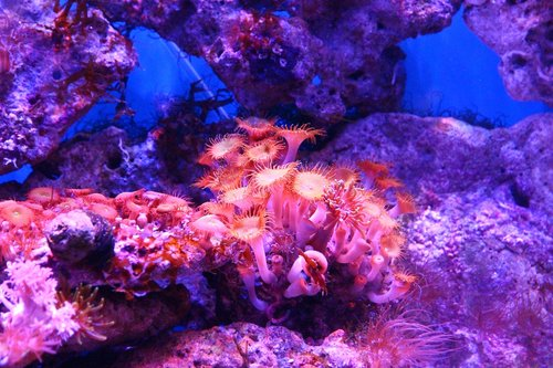 koralų, polipas, Actinium, Anemone, Sea Anemone, akvariumas, Jūrų akvariumas, rifai, rifas akvariumas, Povandeninis pasaulis, pobūdį, po vandeniu, jūra, Jūros dugnas, iš apačios, ne žmogus, čiuptuvai, Gražu