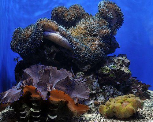 sūrus vanduo, akvariumas, druska & nbsp, vanduo, koralas, koralai, jūrų & nbsp, bestuburiai, jūrų, bestuburiai, saldžiųjų akvariumų koralai