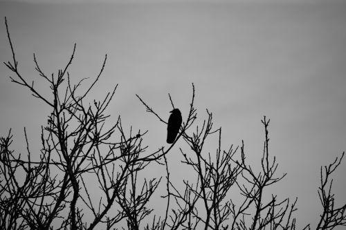 Varnas, paukštis, gyvūnas, gamta, varna, paukštis, juoda & nbsp, balta, fauna, žiema, filialai, laukinis & nbsp, gyvenimas, ramus, varnos medžių