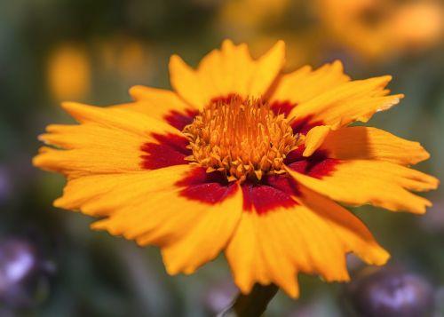 coreopsis,žiedas,žydėti,geltona,raudona,cosmos bipinnatus,kompozitai,dekoratyvinis augalas,gėlė,dekoratyvinė gėlė,coreopsis formosa bonato,kosmosas,lankstinukas leved schmuckblume