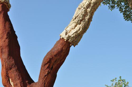 kamštienos ąžuolo,kamštiena,natūralus produktas,medžio žievė,išdžiūvusi žievė,žievė