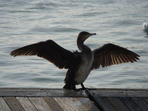 kormoranas, džiovinimas & nbsp, sparnai, paukščiai, gamta, kormoranų džiovinimo sparnai