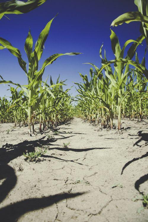 kukurūzai,laukas,Žemdirbystė,kukurūzų laukas,derlius,ariamasis,sausra,kukurūzų burbuolės,maistas,laukai,pasėliai,kukurūzų derlius,kukurūzų augalai,niūrus,saulė,kukurūzų grūdai,pakeistas genu,gm,sėkla