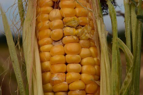 kukurūzai,sausas,Žemdirbystė,laukas,maistas,vasara,kukurūzų laukas,sausra,derlius,ariamasis,pasėliai,gamta,kukurūzų grūdai,kukurūzų augalai,kukurūzų burbuolės,grūdai,ruduo