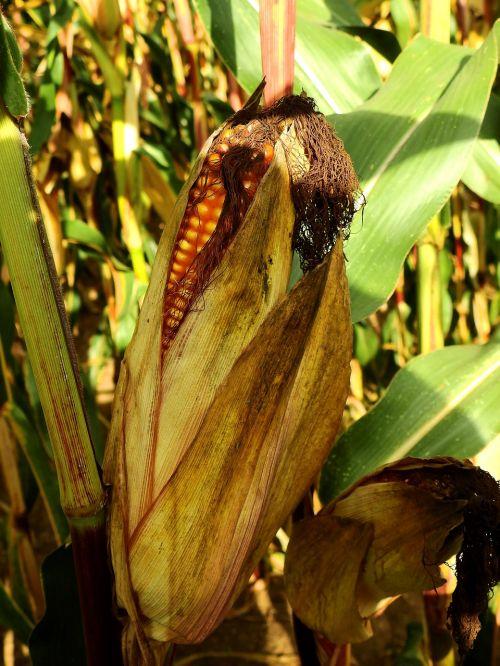 kukurūzai,ausis,maistas,grūdai,Žemdirbystė,grūdai,ariamasis,derlius,laukas,javai,pašariniai kukurūzai,valgyti,pietauti,angliavandeniai,kukurūzų burbuolės,kukurūzų grūdai,grūdai