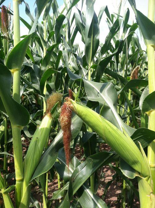 kukurūzai,cob,augalas,pasėlių,derlius