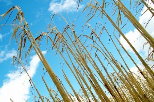 kukurūzai,kvieciai,Žemdirbystė,kaimas,ūkis,laukas,grūdai,augalas,rugių laukas,kviečių smaigalys,kukurūzų laukas,mėlynas dangus,debesys