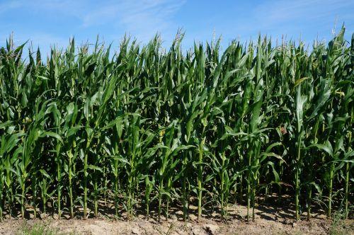 kukurūzai,žalias,gamta,kukurūzų laukas,laukas,augalas,kukurūzų lapai,dangus,Žemdirbystė,vasara,kukurūzų burbuolės,maistas,kukurūzų kultūra,kukurūzų augalai