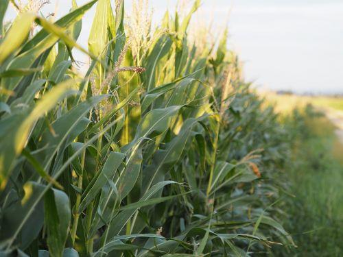 kukurūzai,kukuruz,maistas,grūdai,ruduo,kukurūzų kultūra,Žemdirbystė,augalas,kukurūzų burbuolės,viešas įrašas,stūmoklis,kukurūzų laukas,prinokę,juostos,spalvinga,juostelės,kukurūzų grūdai,laukas,bio