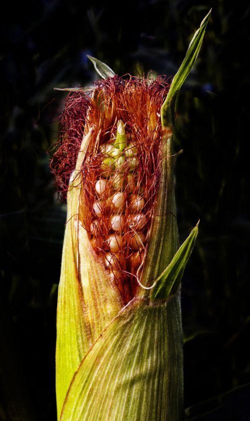 kukurūzai,kukurūzų burbuolės,Žemdirbystė,pasėlių,pašariniai augalai,maistas,elektrinė,zea mays,kukuruz,saldymedis,poales,Poaceae,saldymedis,Poideae,maisto fotografija
