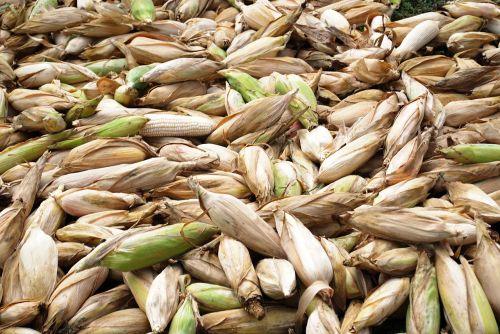 kukurūzai,cob,Žemdirbystė