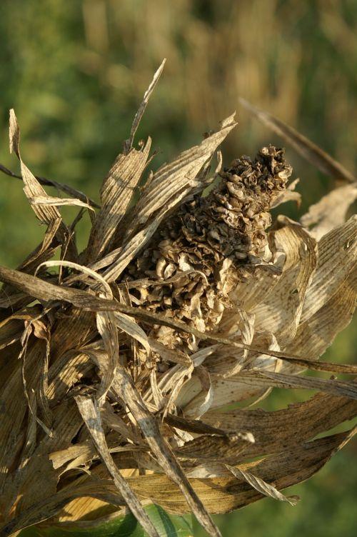 kukurūzai,ruduo,niūrus,sausas,tingus,kukurūzų burbuolės,laukas