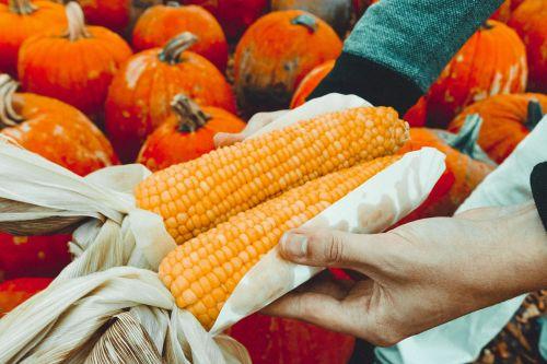kukurūzai,derlius,ūkis,pasėlių,laukas,ūkininkavimas,maistas,Spalio mėn,kritimas,ruduo,daržovių,sveikas,natūralus,ūkių laukas,ekologinis ūkininkavimas