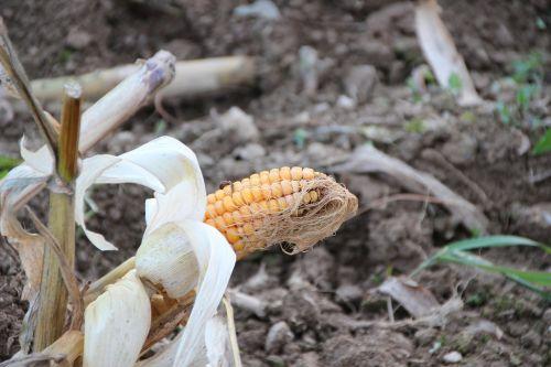 kukurūzų burbuolės,pluoštai,derlius,derlius,sans serif,kukurūzai,poilsis
