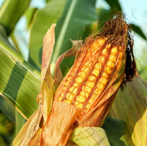 kukurūzų burbuolės,kukurūzai,grūdai,kukurūzų grūdai,grūdai,auksinis,geltona,daržovės,maistas,grūdai,angliavandeniai,pašariniai kukurūzai,javai,augalas,Žemdirbystė,ariamasis,gamta,viešas įrašas,Iš arti