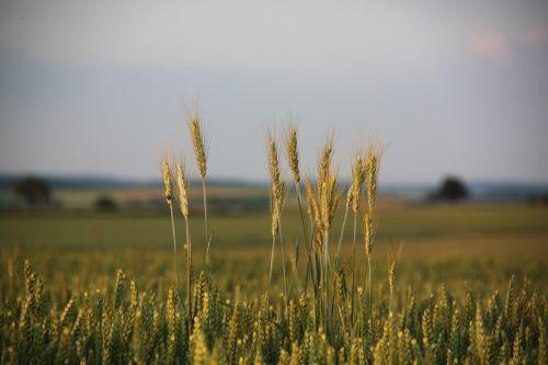 kukurūzų laukas,spiglys,grūdai,grūdai,laukas,Žemdirbystė,vakarinis dangus,vakarinė šviesa,rugių laukas,miežių laukas,nuotaika,padėka,saulės šviesa,kraštovaizdis,gamta
