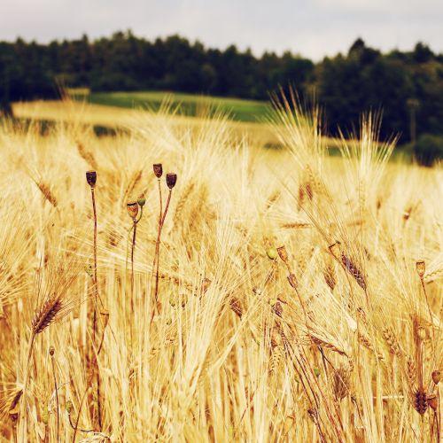 kukurūzų laukas,rugių laukas,kvieciai,grūdai,laukas,žolė,Žemdirbystė,grūdai,ariamasis,geltona,valgyti,maistas,sėkla,derlius,aukso geltona,vaizdingas,kraštovaizdis,gamta,vasara,augalas,vasaros pabaigoje,kaimas,aukso geltonųjų kviečių laukas,prinokę grūdai,auksinis