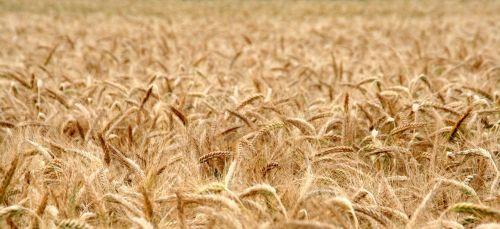 kukurūzų laukas,rugių laukas,grūdai,kvieciai,laukas,derlius,sėkla,mielas,maistas,miltai,panorama,kepti,duona,valgyti,mityba