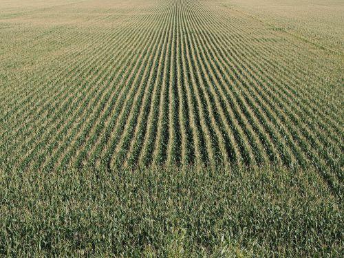 kukurūzų laukas,grūdai,kukurūzai,Žemdirbystė,laukas,maistas,lapai,žalias,kukurūzų burbuolės,gamta,derlius,augalas,ariamasis,vasara,kukurūzų kultūra,stūmoklis,kukurūzų lapai,prinokę,kukurūzų auginimas,kraštovaizdis,kukuruz,kaimas,skanus,bio