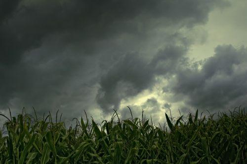 kukurūzų laukas,gewitterstimmung,mažas kampas,lietaus debesys