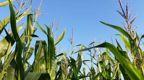 kukurūzų laukas,monokultūra,kraštovaizdis,Žemdirbystė,kukurūzų laukai,laukas,kukurūzai,kukurūzų augalai,ariamasis,pasėliai,kukurūzų burbuolės