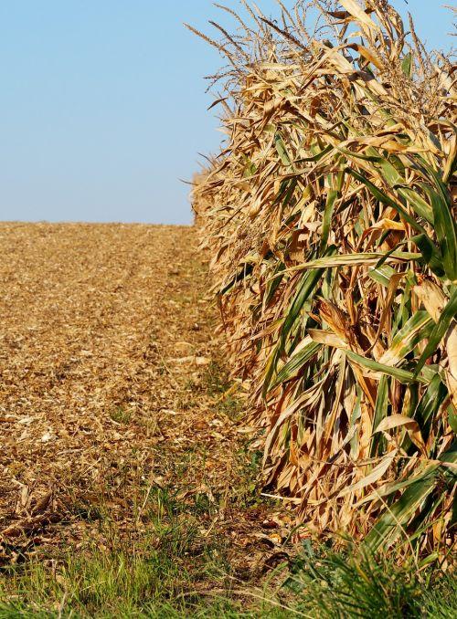 kukurūzų laukas,Žemdirbystė,kukurūzai,laukas,gamta,maistas,ariamasis,kukurūzų burbuolės,kukurūzų lapai,pašariniai kukurūzai,kukurūzų augalai,augalas,ruduo,kraštovaizdis,pasėlių,derlius,linijos,kukurūzų derlius