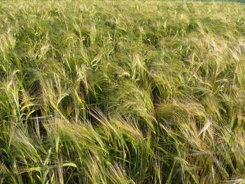 kukurūzų laukas,spiglys,grūdai,augalas,miežių laukas,miežiai,maistingi miežiai
