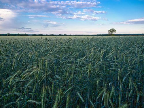 kukurūzų laukas,kraštovaizdis,medis,laukas,grūdai,grūdai,gamta,spiglys,dangus,rugių laukas,kvieciai,ariamasis,kviečių smaigalys,Žemdirbystė,derlius,debesys,grūdų laukai,miežių laukas,nuotaika,vaizdingas,mėlynas,žalias,svajingas,kietas