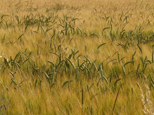 kukurūzų laukas,laukas,Žemdirbystė,grūdai,auksinis,miežių laukas,miežiai,javai,grūdai,spiglys,maistas,derlius,hordeum vulgare,hordeum,saldymedis,Poaceae