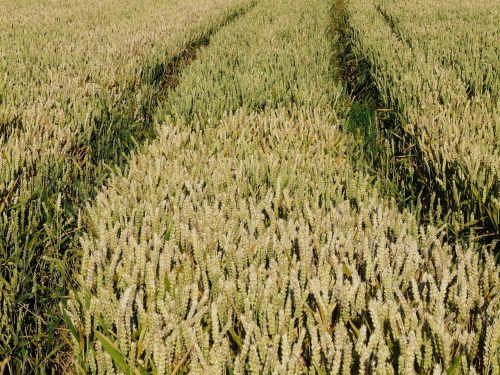 kukurūzų laukas,laukas,Žemdirbystė,grūdai,grūdai,auksinis,rugių laukas,kvieciai,javai,maistas,derlius,saldymedis,Poaceae,traktoriaus keliai,traktorius,pėdsakai,infrastruktūra