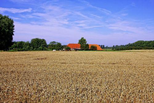 kukurūzų laukas,Žemdirbystė,sodyba,ūkis,niederhein,grūdai,laukas,grūdai,dangus,gamta,vasara,ariamasis,rugių laukas,spiglys,kvieciai,mėlynas,grūdų laukai,debesys,kraštovaizdis,kviečių smaigalys,miežiai,derlius,saulė,subrendęs,maistas,aukso geltona,nuotaika,derliaus nuėmimas,grūdų laukas,augalas,medis,grūdų derlius