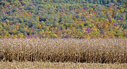 kukurūzų & nbsp, laukas, kukurūzų laukas, kukurūzų & nbsp, laukai, kukurūzų laukai, kukurūzai, kukurūzų & nbsp, stiebai, ruduo, kritimas, lapija, kalnas, kalnai, ūkis, nauja & nbsp, Anglija, Vermont, kukurūzų ir lapų kalnai