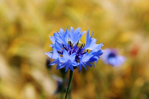 rugiagėlė,centaurea cyanus,zyane,knapweed,laukas,violetinė,žydėti,gamta,žiedas,žydėti,gėlė,augalas,vasara,mėlynas,kukurūzų laukas,Žemdirbystė,rugių laukas,grūdai,kvieciai,ariamasis,kraštovaizdis,nuotaika,vaizdingas