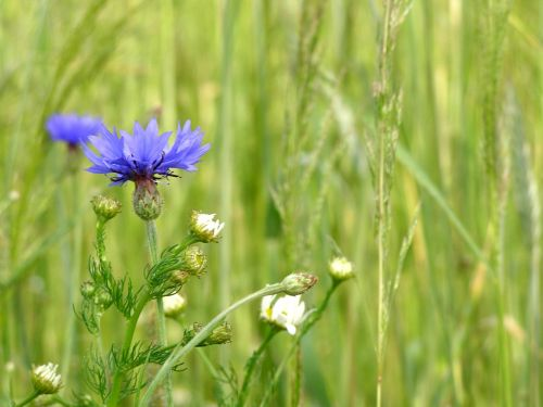 rugiagėlė,gėlės,kukurūzai,vasara,kaimas,laukinės vasaros spalvos,mėlynas,mėlynos gėlės,laukinės gėlės,gėlė,gamta,Bluebottle,wildflower,mėlyna gėlė,Žemdirbystė,pieva,laukas