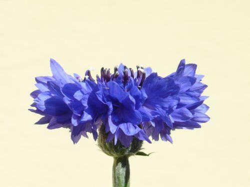 rugiagėlė,mėlynas,gėlė,žiedas,žydėti,vasara,centaurea cyanus,zyane,knapweed,centaurea,kompozitai,asteraceae