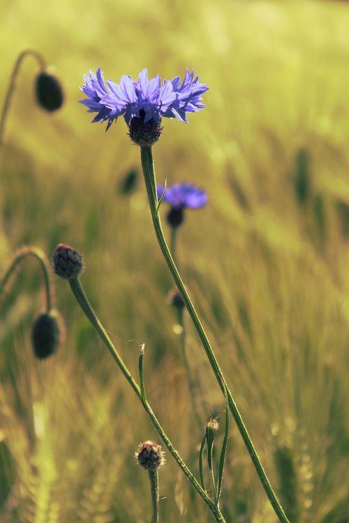 kukurūzai, kukurūzų laukas, laukas, mėlynas, gamta, gėlės, vasara, Žemdirbystė, žydėti, žiedas, žydėti, derlius, grūdai, miežių laukas, miežiai, rugių laukas, žydėjo, kvieciai, ausis