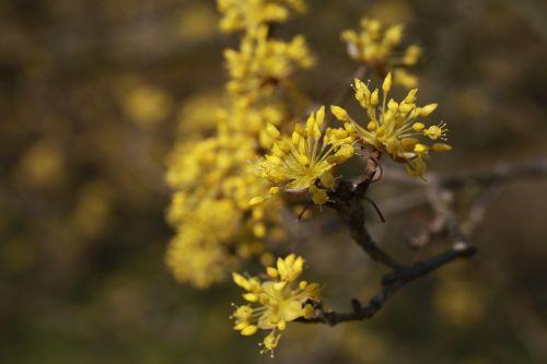 kukurūzai,gėlės,gamta,augalai,geltona,pavasaris,geltona gėlė,žiedas,Korėjos Respublika,animacija,sutraiškyti,pavasario gėlės,kraštovaizdis,bičių,gyvenimas