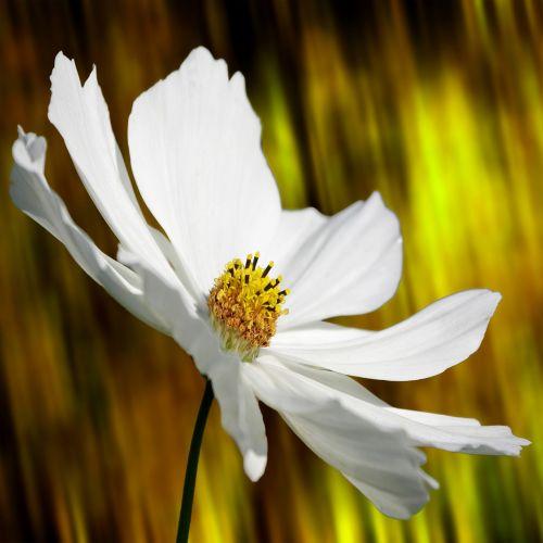 cosmea,gėlė,augalas,žiedas,žydėti,cosmea bipinnata,kosmee,sodas,sėklos,dekoratyvinė gėlė,dekoratyvinis augalas,balta,vasara,makro,žydėti,gražus,gėlių sodas,gamta,Uždaryti